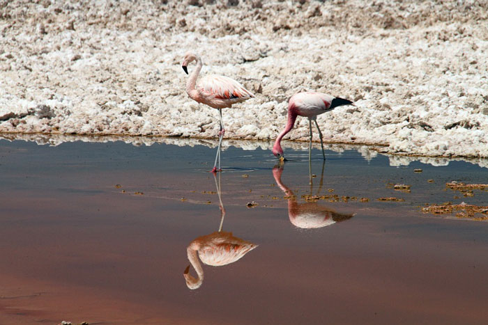 atacama flamant rose