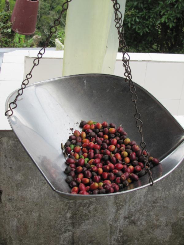 Filandia - Plantation de café