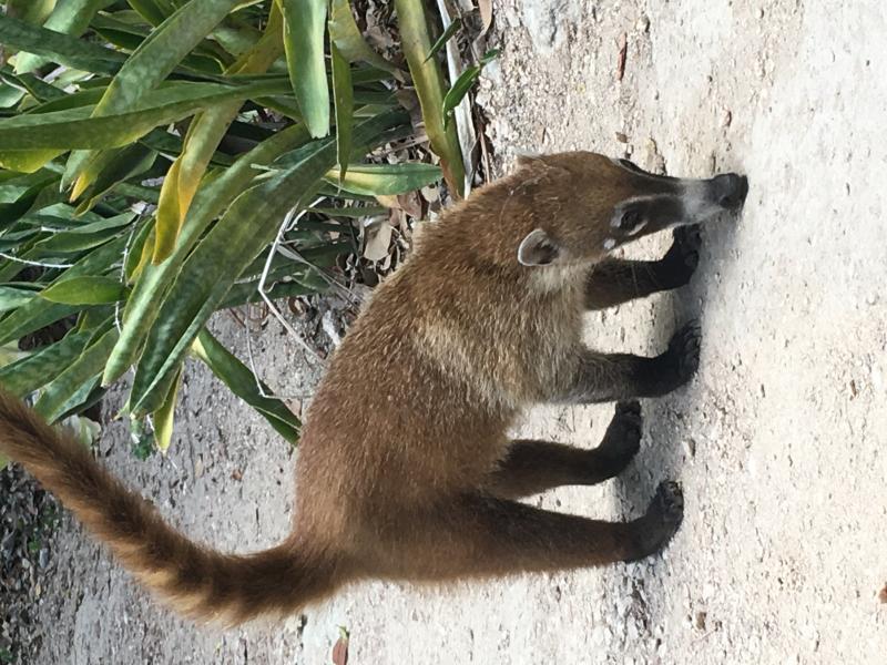 Koati à Tulum