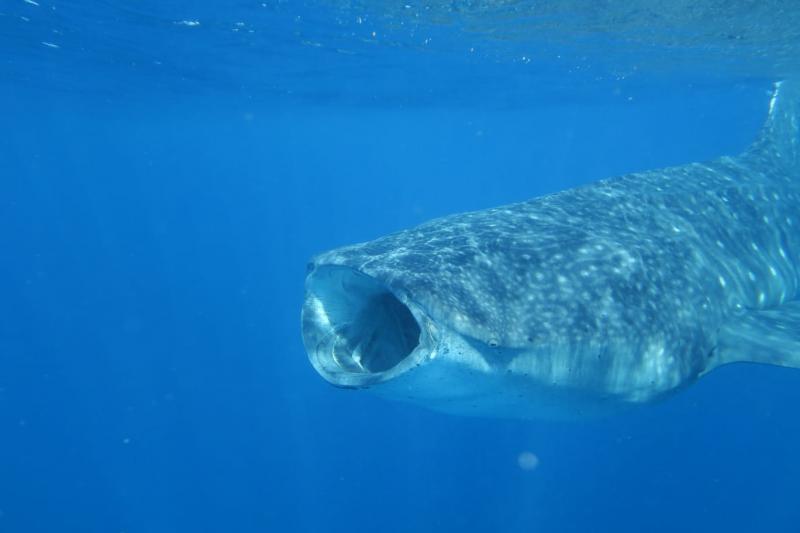 Requins baleines à Holbox